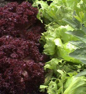 lettuce-1329103-639x695