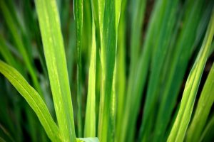 lemon-grass-1354904-639x426